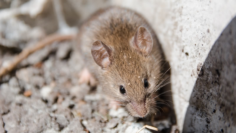 Rodent Control Greenville SC