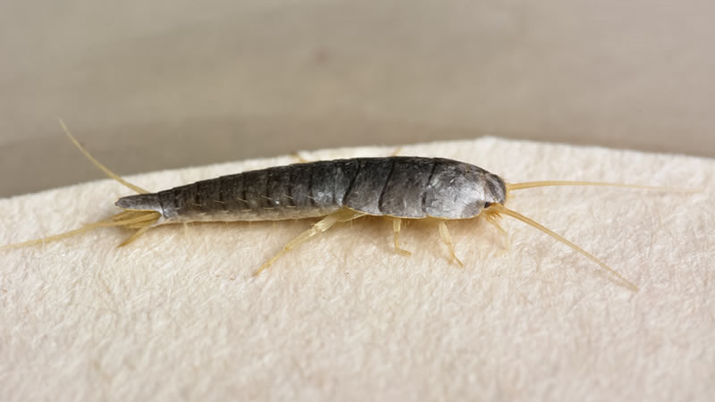 Silverfish, Firebrats, Earwigs Pest Control Greenville SC