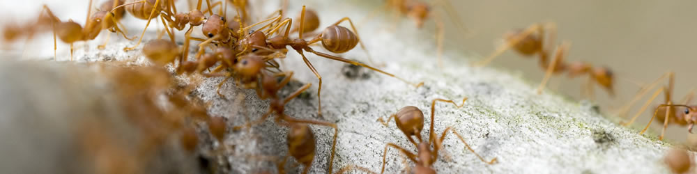 PestGuard Solutions Fire Ants Control and Fire Ant Extermination Greenville SC